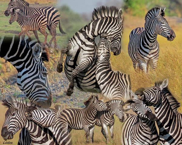 Photograph - Zebra Montage by Larry Linton