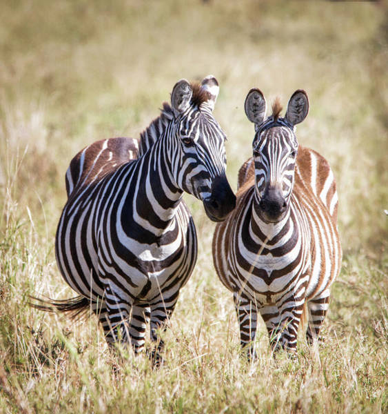 Together Forever Photograph - Zebra Pair by Vicki Jauron