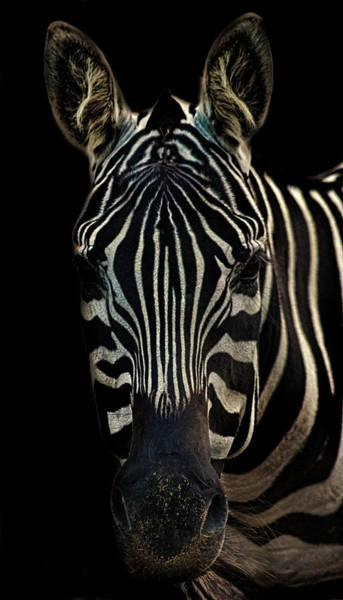 Hoof Photograph - Zebra Portrait by Martin Newman