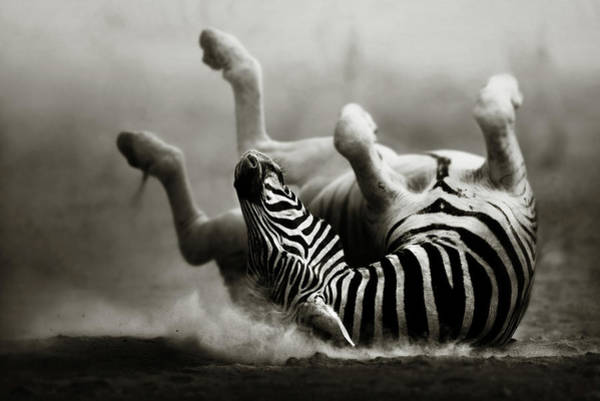 African Wildlife Photograph - Zebra Rolling by Johan Swanepoel
