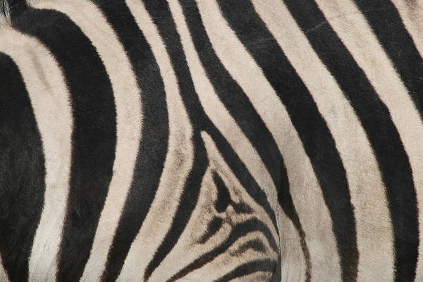 Wall Art - Photograph - Zebra Stripes by Bruce J Robinson