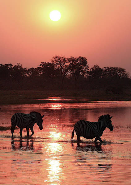 Photograph - Zebra  Sunset 2  by Kay Brewer