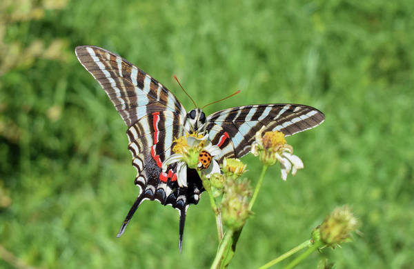 Photograph - Zebra Swallowtail And Ladybug by Larah McElroy
