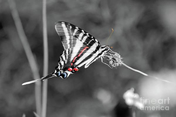Photograph - Zebra Swallowtail Butterfly 2016 by Karen Adams