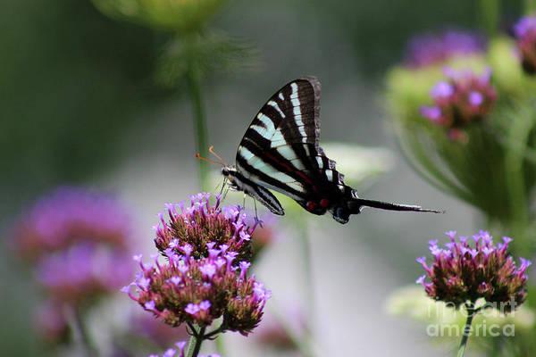 Photograph - Zebra Swallowtail Butterfly On Verbena by Karen Adams