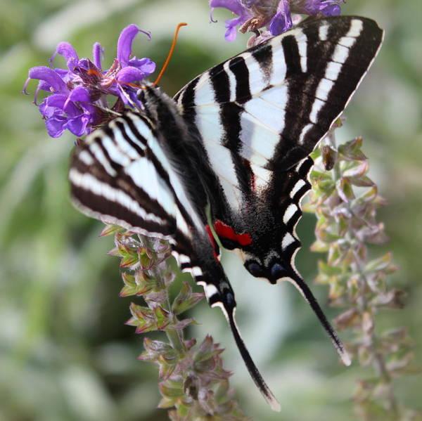 Wall Art - Photograph - Zebra Swallowtail by Joseph Skompski