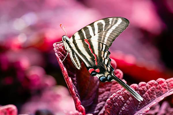 Wall Art - Photograph - Zebra Swallowtail On Red Head Coleus by Jeff Abrahamson