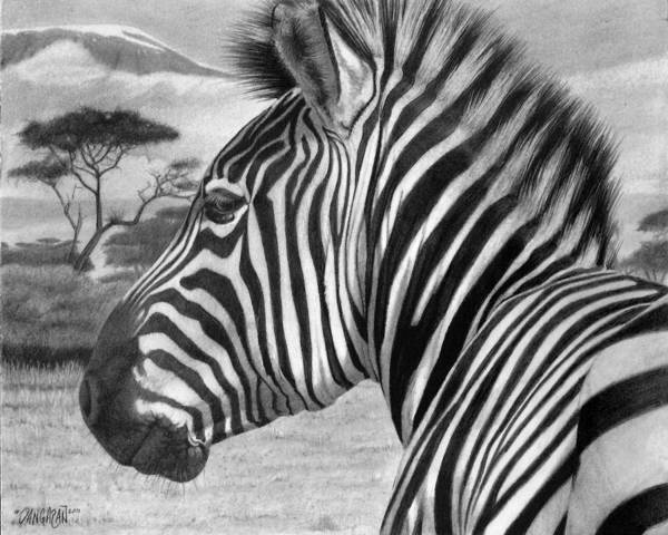 Graphite Drawing - Zebra by Tim Dangaran