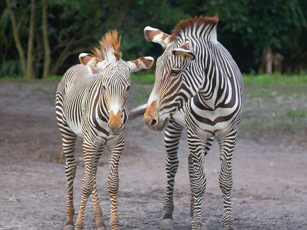 Photograph - Zebras by Dart and Suze Humeston