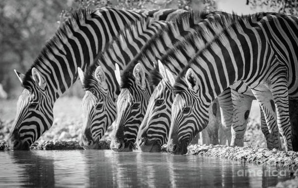 Wall Art - Photograph - Zebras Drinking by Inge Johnsson