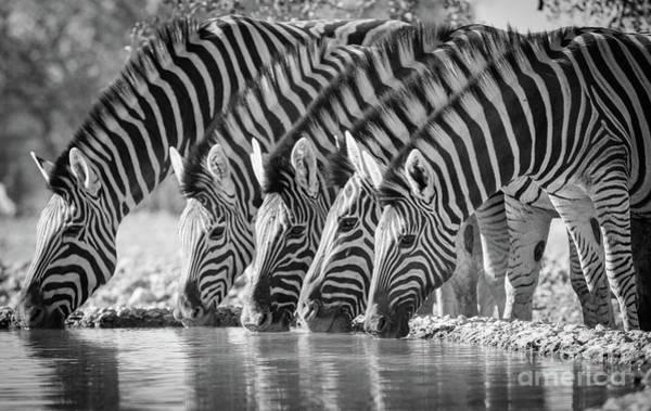 Wildlife Sanctuary Photograph - Zebras Drinking by Inge Johnsson