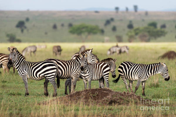 Photograph - Zebras In Serengeti Savannah by RicardMN Photography