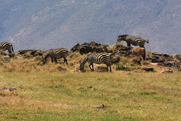 Photograph - Zebras In The Ngorongoro Crater, Tanzania by Aidan Moran