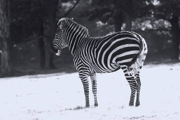 Photograph - Zebra In Snow by Doc Braham