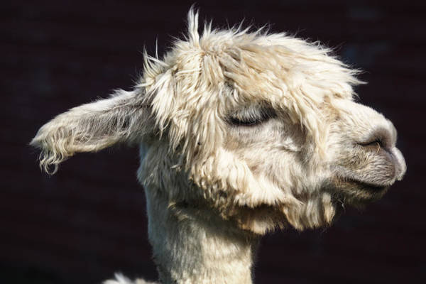 Photograph - Zen Alpaca by Robin Zygelman