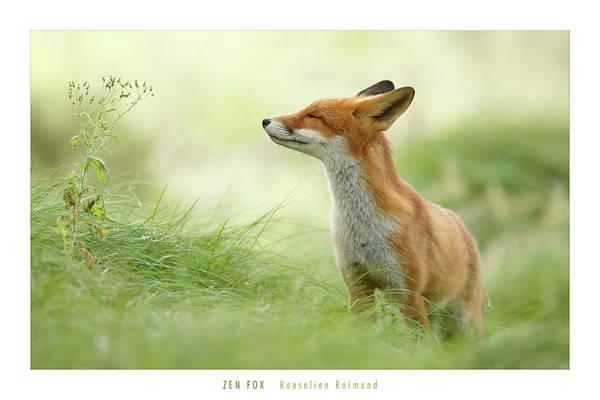 Cuteness Photograph - Zen Fox Roeselien Raimond by Roeselien Raimond