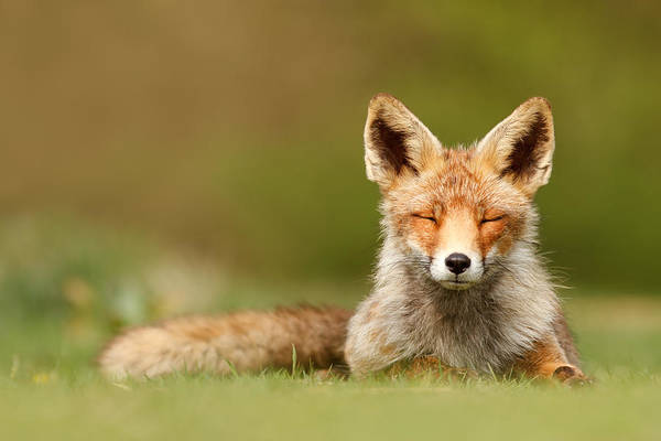 Mindfulness Wall Art - Photograph - Zen Fox Series - Born To Be Happy by Roeselien Raimond