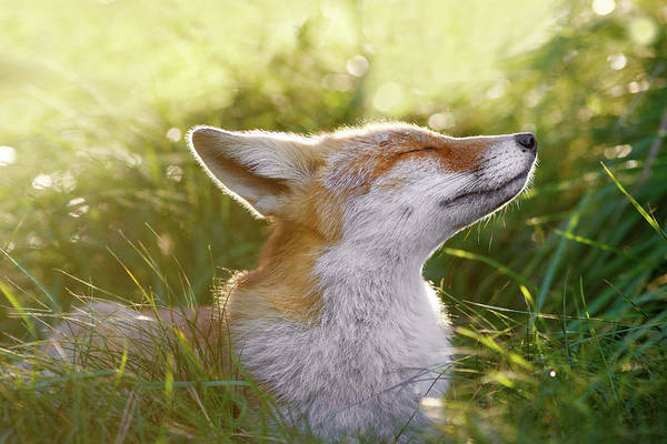 Red Dog Photograph - Zen Fox Series - The Sniffer by Roeselien Raimond