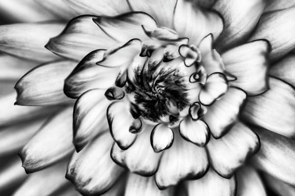 Photograph - Zinnia Close Up In Black And White by Mark Kiver