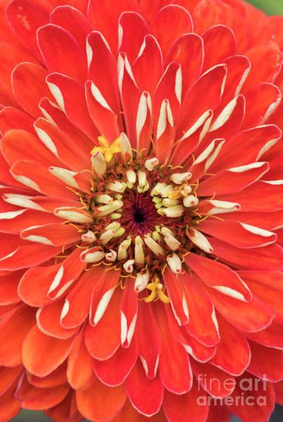 Zinnia Flower Wall Art - Photograph - Zinnia Elegans Benarys 'giant Orange' by Tim Gainey