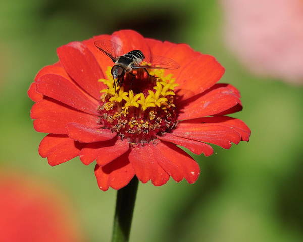 Photograph - Zinnia by John Moyer