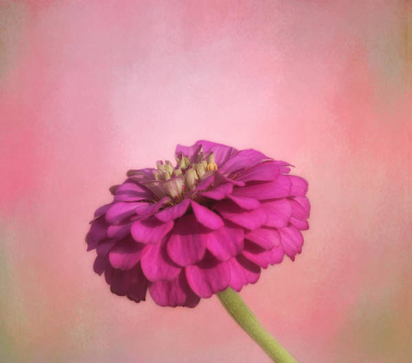 Zinnia Wall Art - Photograph - Zinnia by Kim Hojnacki