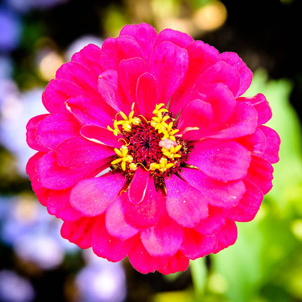 Photograph - Zinnia by Randy Scherkenbach