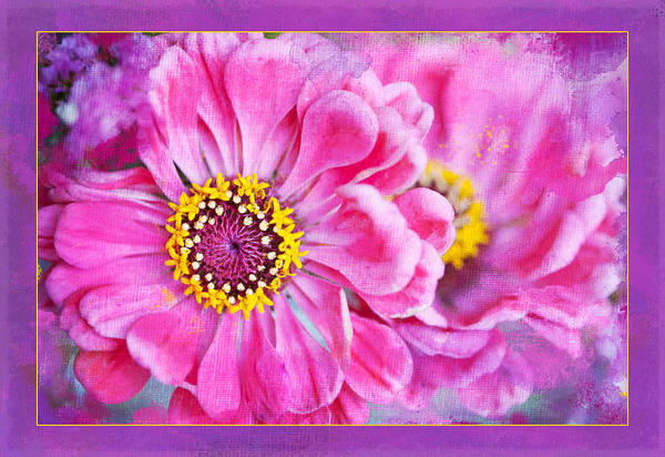 Photograph - Zinnia Sisters by Jill Love