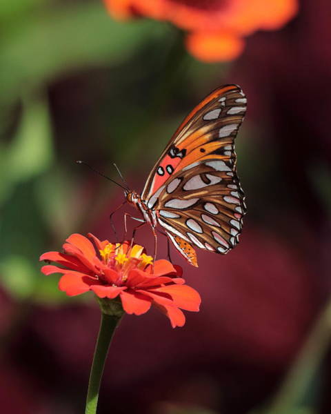 Photograph - Zinnia With Butterfly 2668 by John Moyer