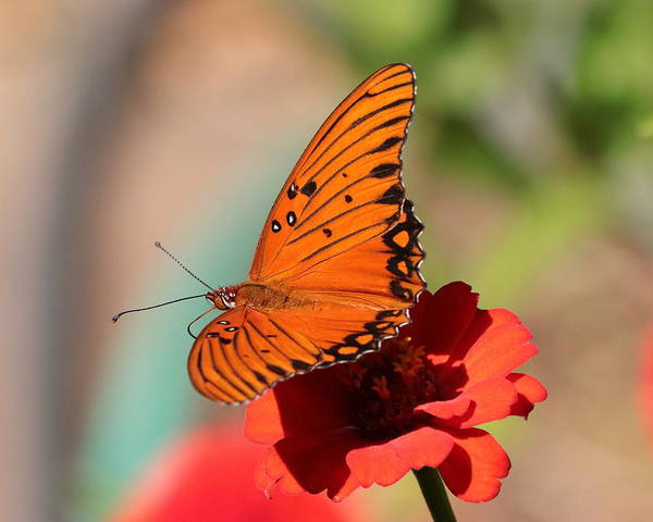 Zinnia With Butterfly 2669 Art Print