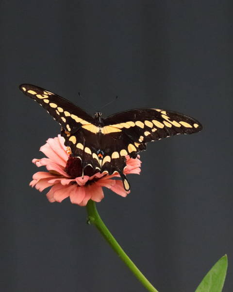 Zinnia With Butterfly 2708  Art Print
