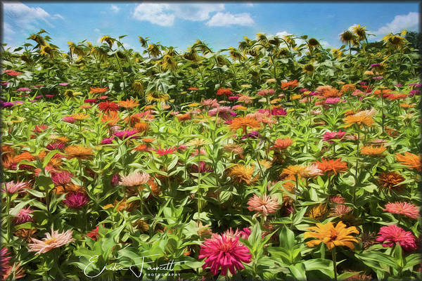 Photograph - Zinnias And Sunflowers by Erika Fawcett