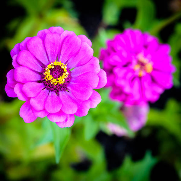 Photograph - Zinnias by Randy Scherkenbach