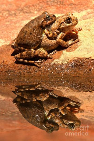 Photograph - Zion Canyon Tree Frogs In Love by Adam Jewell
