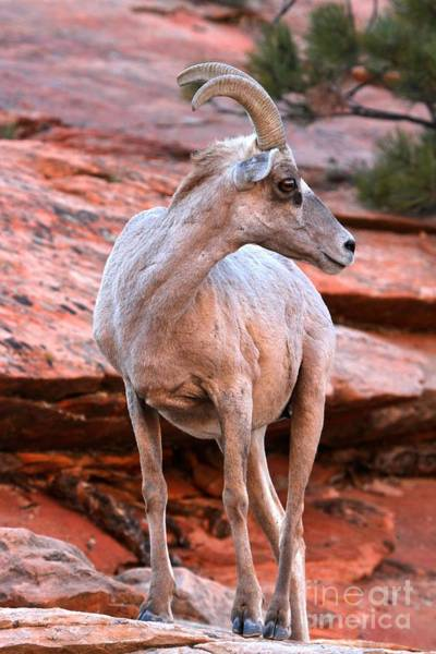 Photograph - Zion National Park Big Horn Sheep by Adam Jewell