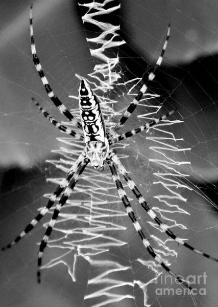 Photograph - Zipper Spider - Black And White by Carol Groenen