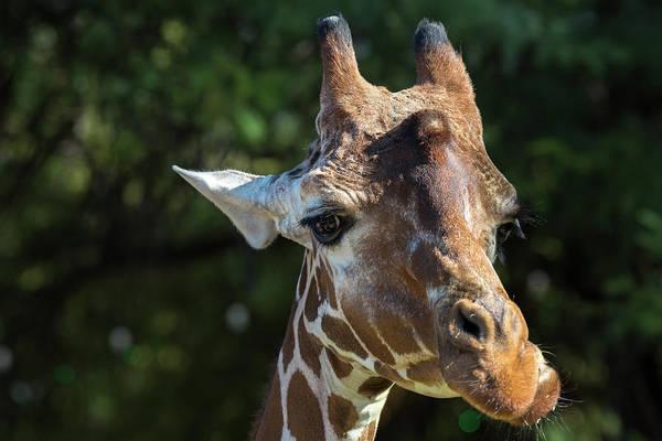 Colorful Giraffe Photograph - Zoo Animals by Jon Manjeot