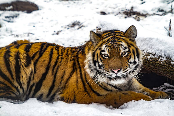 Photograph - Zoya The Amur Tiger by Ron Pate