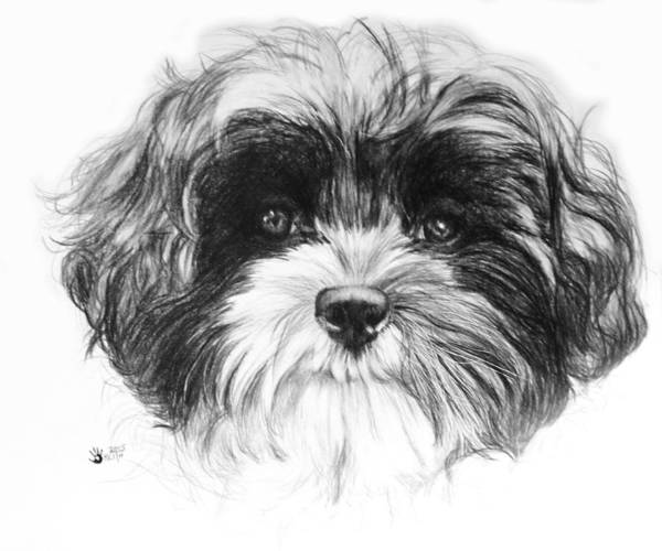 Mutt Drawing - Zu-chon by Barbara Keith