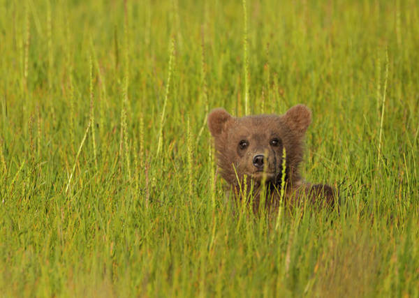 Photograph - A Brown Bear Cub In The Long Grass In by Mint Images - Art Wolfe
