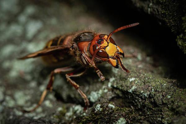 European Hornet Photograph - A European Hornet Sitting On A Tree by Stefan Rotter