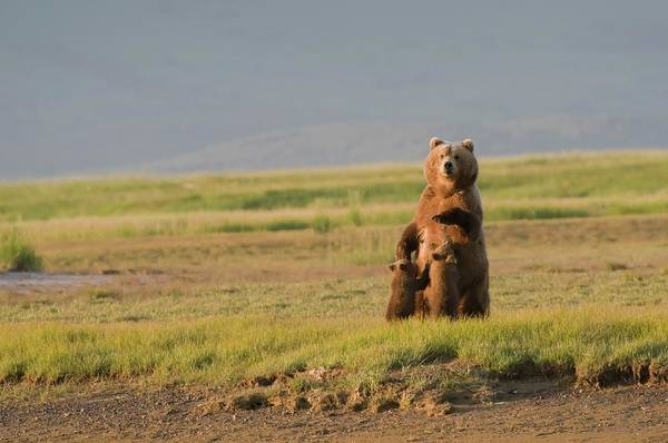 Born In The Usa Photograph - A Grizzly Bear Ursus Arctos Horribilis by Design Pics / Deb Garside