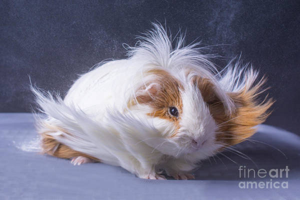 Wall Art - Photograph - A Guinea Pigs Hair Is Blowing In The by Ebphoto