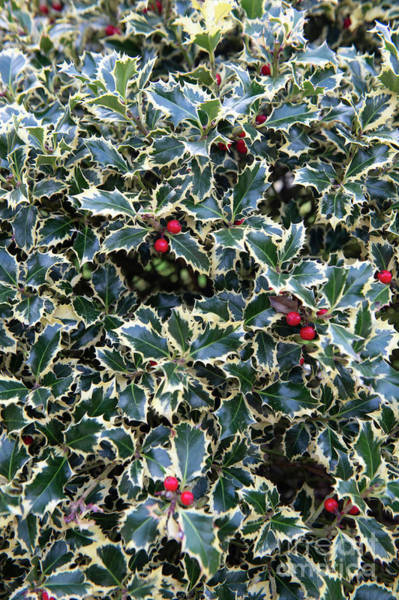 Photograph - A Load Of Holly  by Jenny Potter