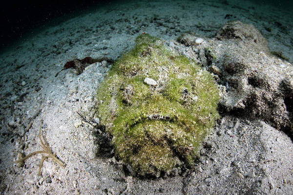 Photograph - A Well-camouflaged Reef Stonefish Waits by Ethan Daniels