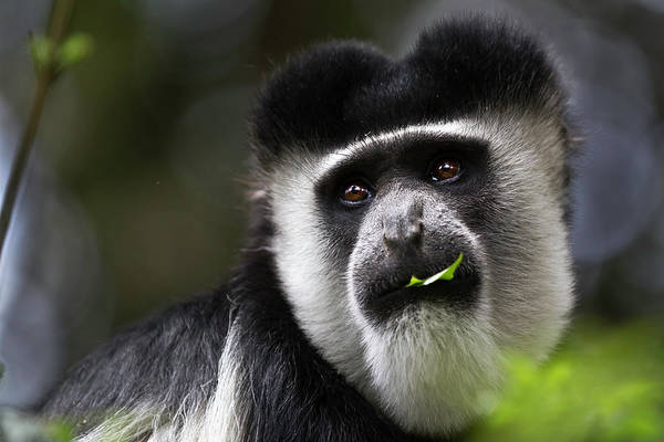 Leaf Monkey Wall Art - Photograph - Abyssinian Black And White Colobus by Manoj Shah