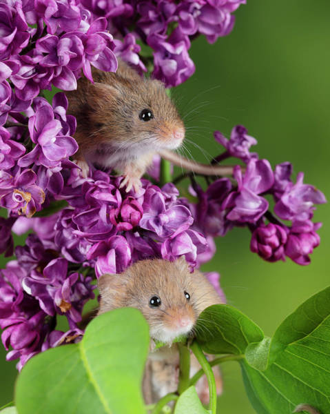 Wall Art - Photograph - Adorable Cute Harvest Mice Micromys Minutus On Pink Flower Folia by Matthew Gibson