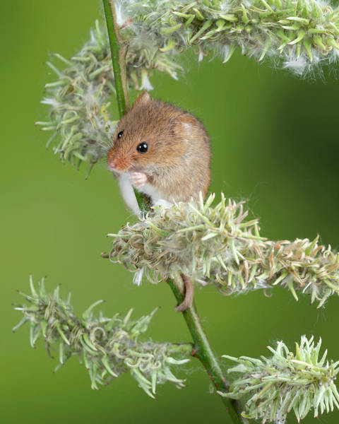 Wall Art - Photograph - Adorable Cute Harvest Mice Micromys Minutus On White Flower Foli by Matthew Gibson