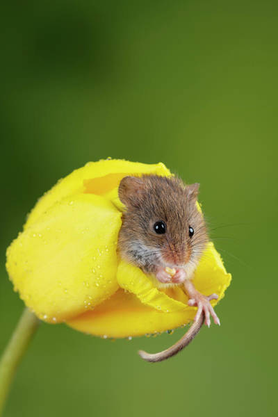 Wall Art - Photograph - Adorable Cute Harvest Mice Micromys Minutus On Yellow Tulip Flow by Matthew Gibson