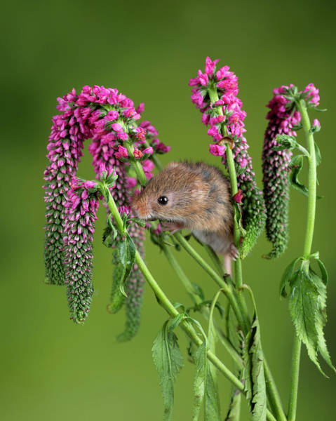 Wall Art - Photograph - Adorable Cute Harvest Mouse Micromys Minutus On Red Flower Folia by Matthew Gibson